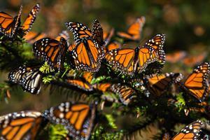 Relacionada mariposa.jpg