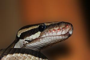 Relacionada snake-601831_960_720.jpg