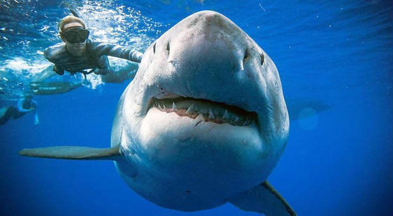¿Es este el tiburón blanco más grande del mundo?