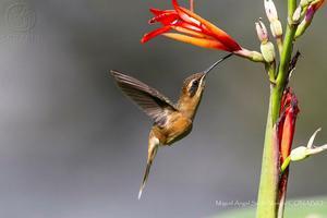 Relacionada colibri-foto-miguel-angel-sicilia.jpg