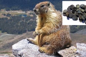 Relacionada marmota.jpg