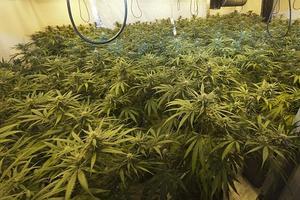 Relacionada marijuana.jpg
