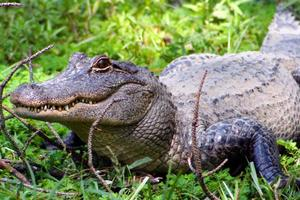 Relacionada caiman-detenido-cesped-verde-4-1.jpg
