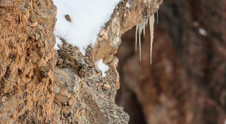 ¿Ves al leopardo camuflado en la nieve? El nuevo reto viral