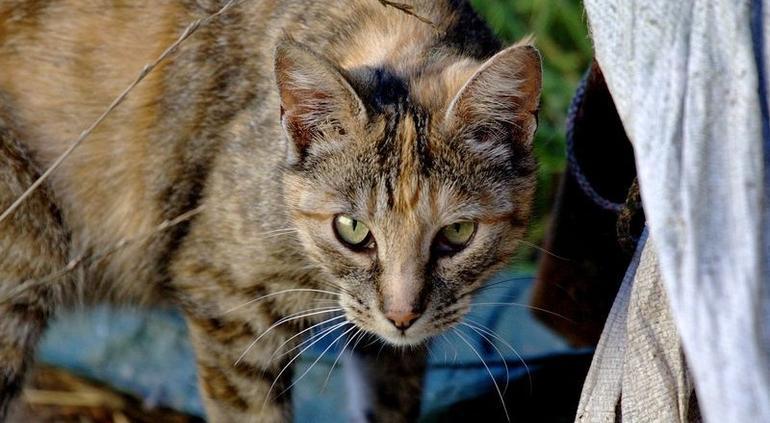 Australia matará millones de gatos por poner en riesgo a especies endémicas