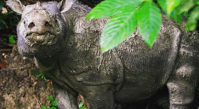 Murió Tam, el último rinoceronte de Sumatra macho