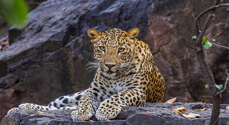 Leopardo rob a beb de cama y lo devor en la selva tiempo - Tiempo en camas ...