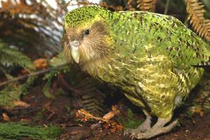 Relacionada kakapo.jpg