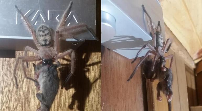Araña gigante devora zarigüeya frente a turistas