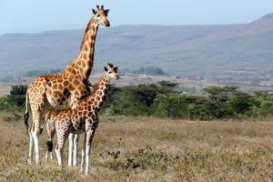 Relacionada giraffe-1955126_960_720.jpg