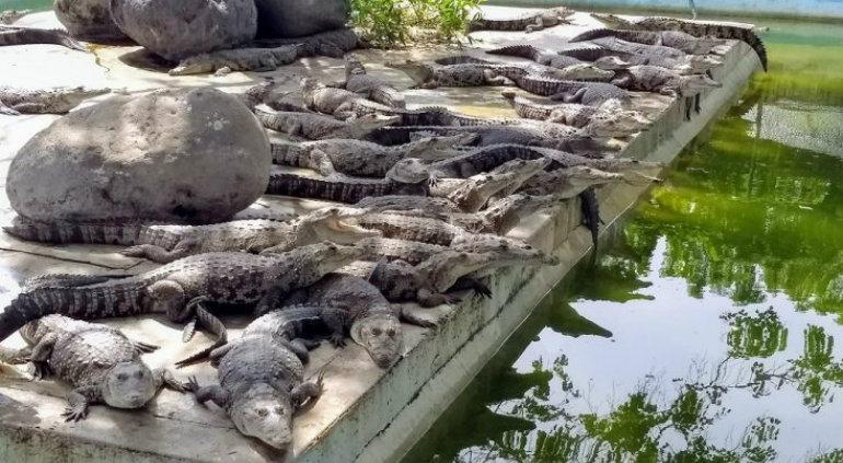 Niña fue devorada por cocodrilos de la granja de su padre — Camboya