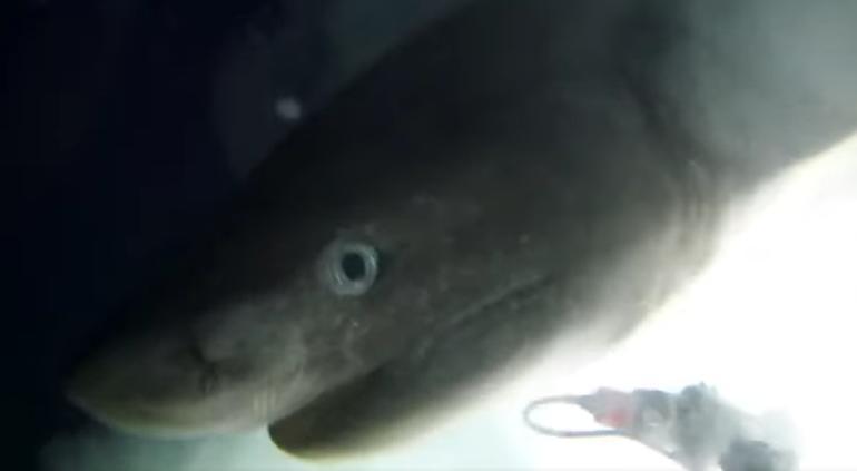 #Video Graban a tiburón milenario en las Bahamas