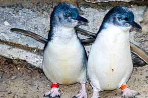 Relacionada pinguino-azul2.jpg