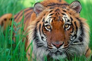 Relacionada tigre.jpg