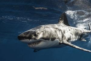 Relacionada tiburon-tiempocom.jpg