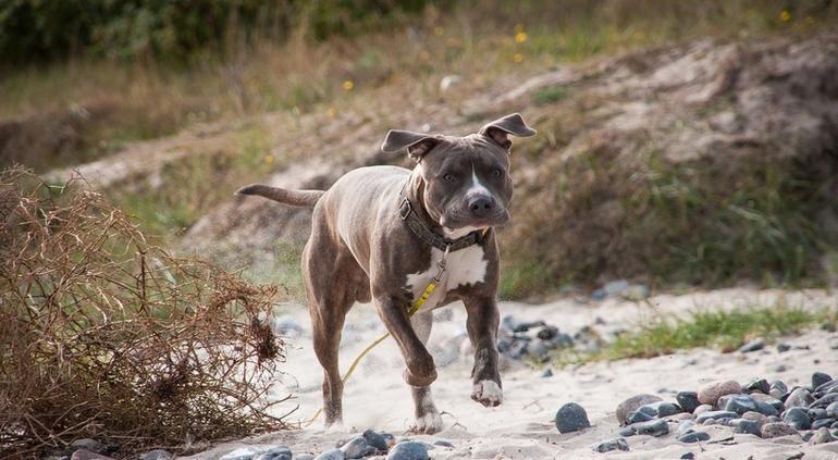Pitbull salva a su dueño de la arremetida de un tiburón