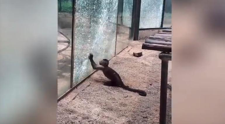 Mono rompe cristal con una piedra para escapar