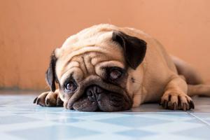Relacionada perro-pug-770x513.jpg