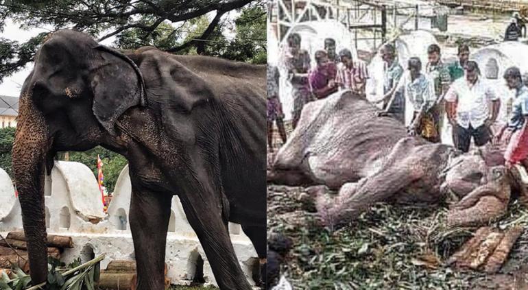 Fallece Tikiri: la elefanta a la que explotaron durante 70 años