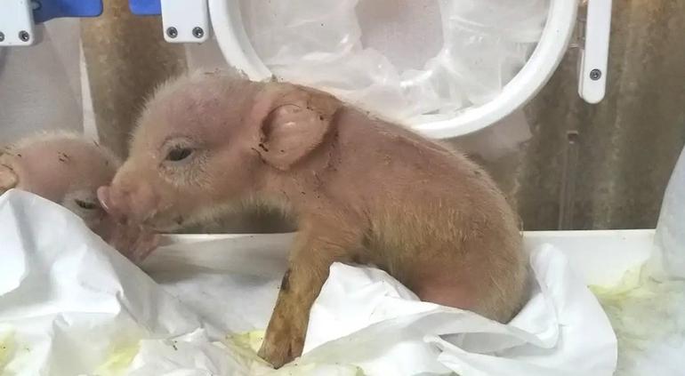 Nace el primer híbrido de cerdo y mono — IMÁGENES