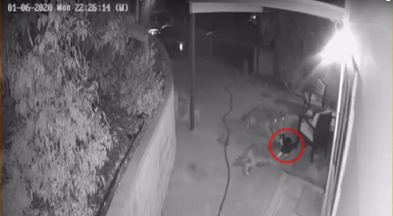 Gato pelea contra tres coyotes hambrientos que intentaron atacarlo