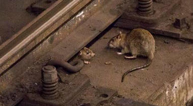 Hong Kong: confirman once casos con hepatitis contagiada por ratas