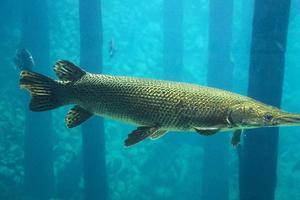 Relacionada pez-aligator.jpg