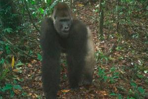 Relacionada gorilla.jpg