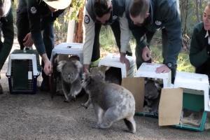 Relacionada free-koalas.jpg
