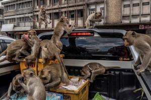 Relacionada thailand_monkeys_6_1.jpg