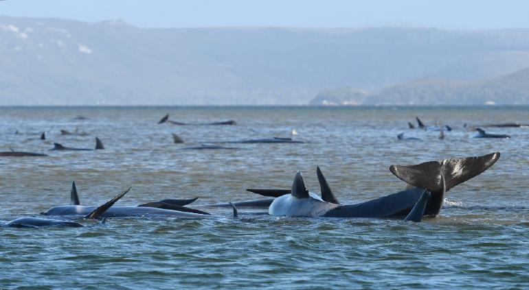 90 ballenas mueren varadas en Australia; más de 200 siguen atrapadas