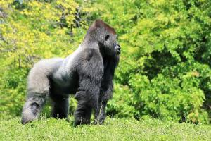 Relacionada guia-de-gorilas-donde-viven-dieta-y-conservacion.jpg